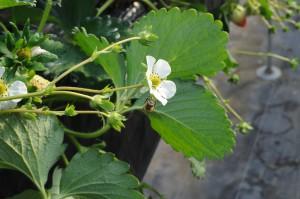 栽培に重要な役割をもつミツバチ。