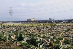 キャベツと白菜の畑。