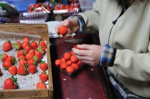 収穫したイチゴをパックに。